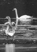 10th Feb 2017 - Juvenile swan with adult