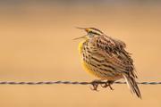 6th Feb 2017 - The Kansas Meadowlark Sings His Song