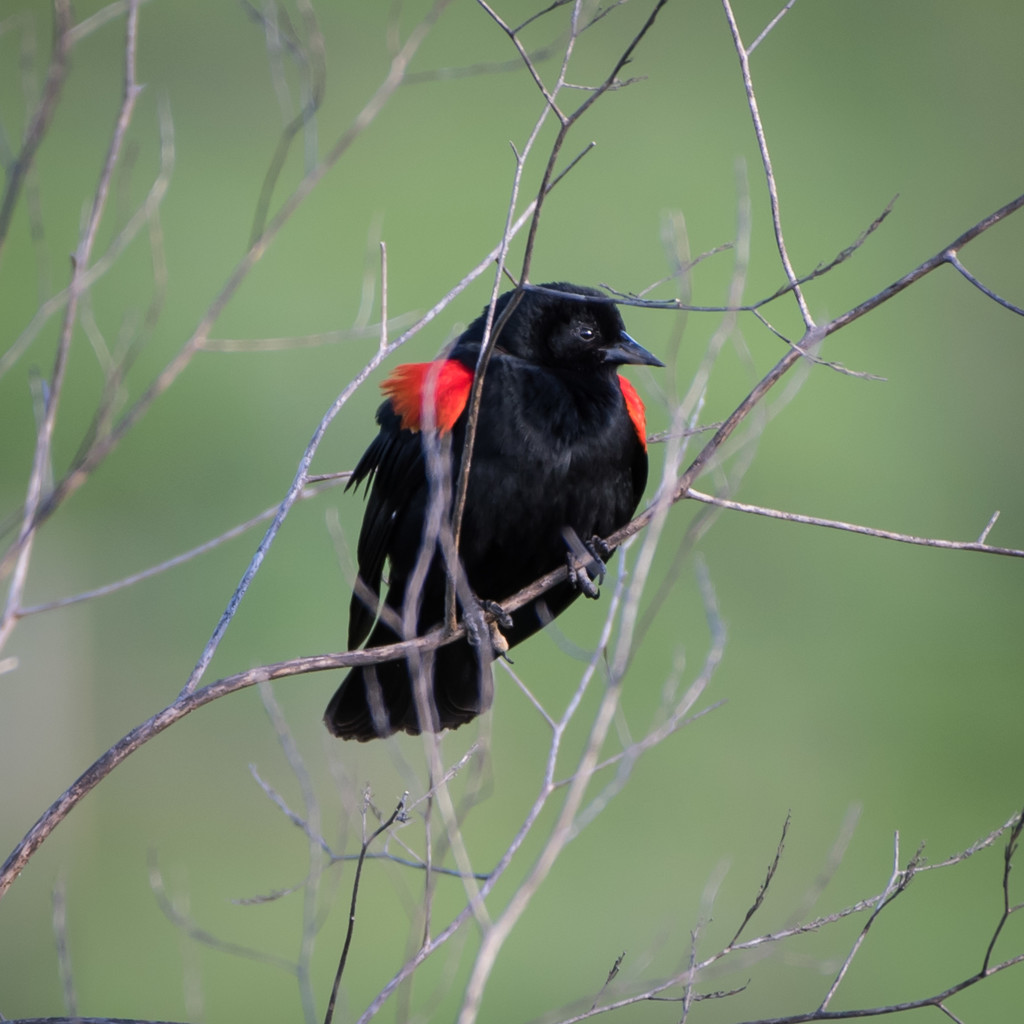 Red Wing Black Bird by mikegifford