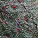 Native cotoneaster