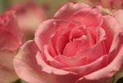 12th Feb 2017 - Pretty in Pink