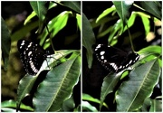 13th Feb 2017 - Spotted Black Crow Butterfly ~