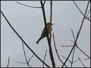 23rd Dec 2010 - Still Life- Bird in Tree