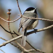 13th Feb 2017 - Fluffy Chickadee