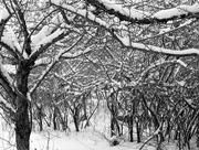 13th Feb 2017 - Winter Plum Trees