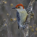 Redbellied Woodpecker by skipt07