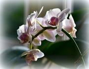 14th Feb 2017 - Orchid