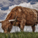 Highland Cattle by shepherdmanswife