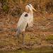 Blue Heron Taking a Break!