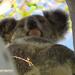 a gumnut baby by koalagardens