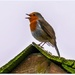 Rooftop Robin 1