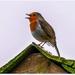 Rooftop Robin 1 by carolmw