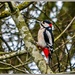 Great-Spotted Woodpecker (male)