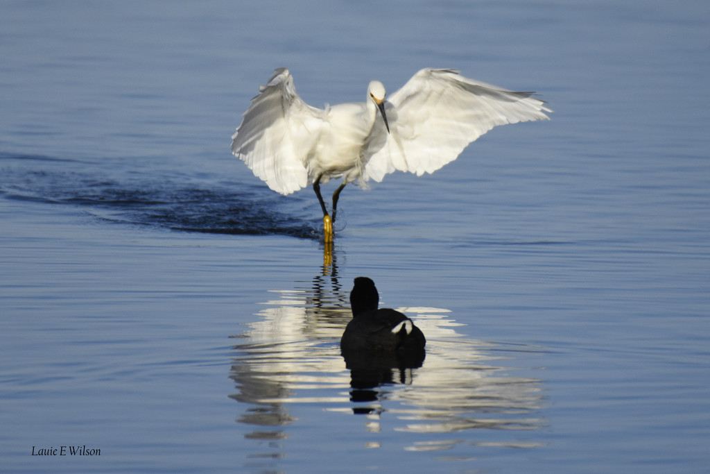 Snowy Egret Mesmerizes Coot With Wings Or Reflection?   by laurieewilson