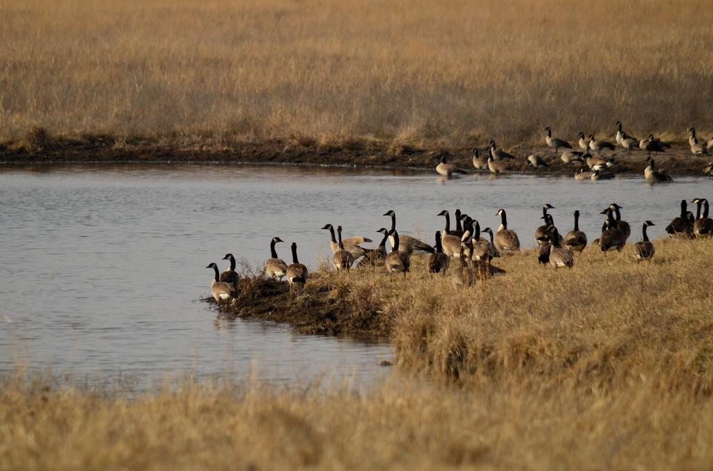 Canadian Geese at Kansas Pond by kareenking
