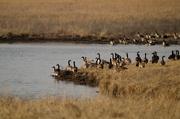 11th Feb 2017 - Canadian Geese at Kansas Pond