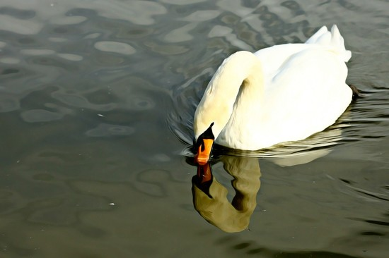 Oldies-Swan reflection by psychographer
