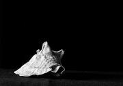 15th Feb 2017 - Shell Black and White