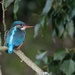 Kingfisher female(wonderful view of beak) by padlock