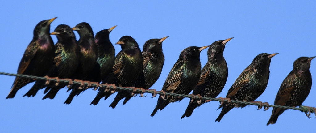 Darling Starlings by kareenking