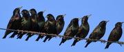 17th Feb 2017 - Darling Starlings