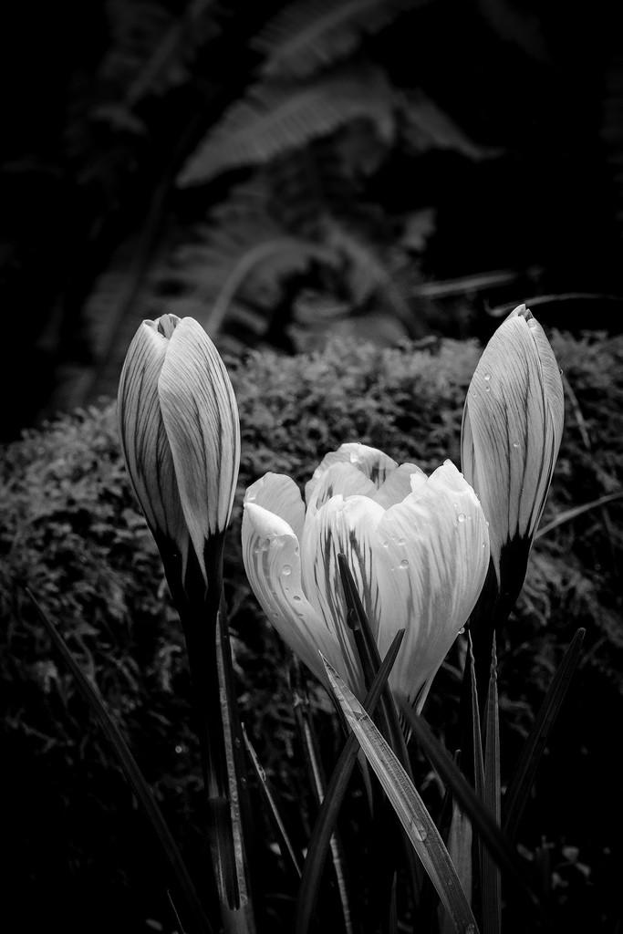 Black and White Crocuses  by jgpittenger