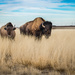 ♪ ♫....Where the Buffalo Roam ♪ ♫ by ckwiseman