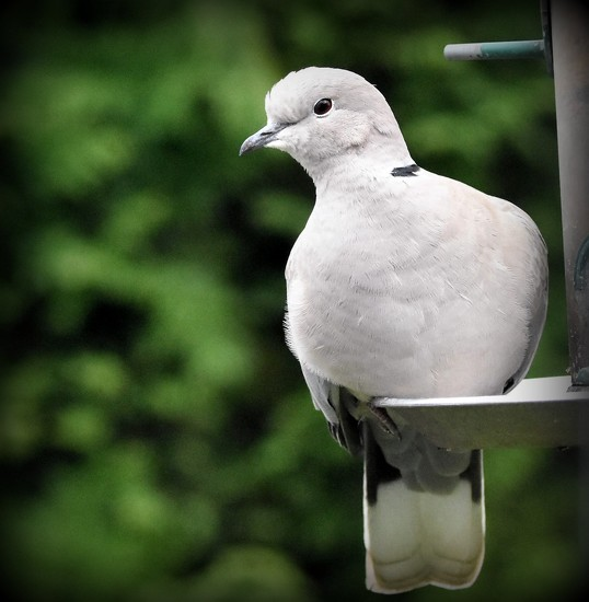 Collared dove  by rosiekind