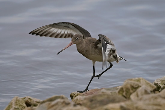 INCOMING GODWIT by markp
