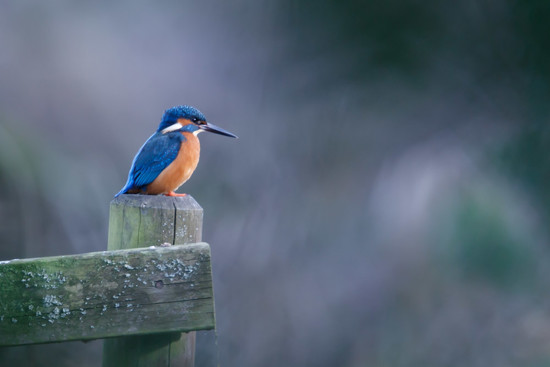 Male Kingfisher on a post(filler) by padlock