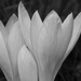 Crocus  by helenhall