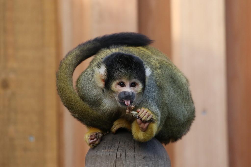 Sqirrrel Monkey  by bizziebeeme