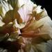Hibiscus Bud