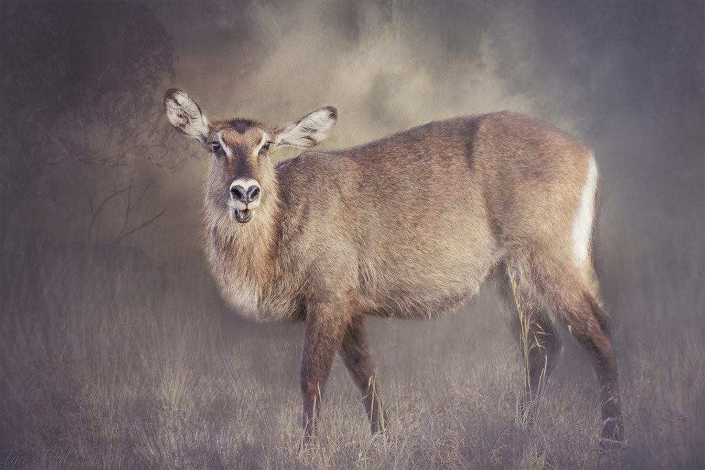 female waterbuck in the grass by ltodd