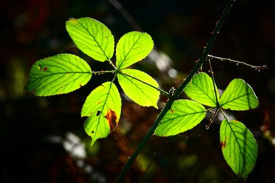 Backlit Bramble Leaves by carole_sandford
