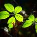 Backlit Bramble Leaves