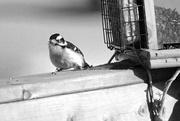 15th Feb 2017 - Downy Woodpecker in B&W