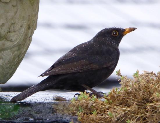 Soaking Blackbird! by chris17