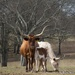 Long horn cows by thewatersphotos