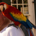 Scarlet Macaw Parrot Out for a Walk!