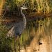 Blue Heron in the Sunshine! by rickster549