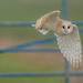 Barn Owl.. by markyl