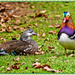 Mr.and Mrs.Mandarin Duck