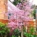 Cherry Tree  by beryl