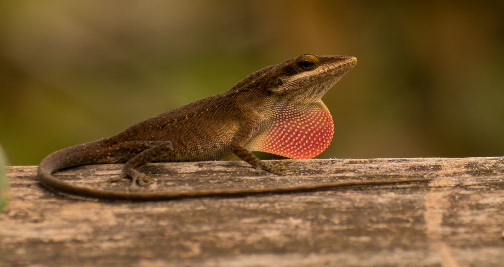 Lizard Showing Off! by rickster549