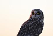 21st Feb 2017 - Short-Eared Owl