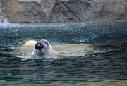 22nd Feb 2017 - Nose Snorkle of Floating Polar Bear