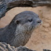 OTTER ON THE SANDS by markp