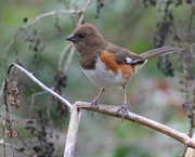 22nd Feb 2017 - Mrs. Towhee