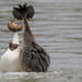 Great Crested Grebe, Courtship Dance by padlock
